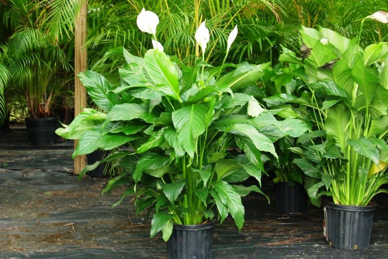 spathiphyllum_poisonous_dogs_65